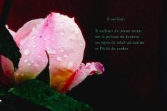 Rose sous la pluie. Rivière-Enverse, Haute-Savoie. Poème ˆsur la séŽparation.