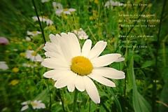 Marguerite dans le Jura Vaudois, col du Marchairuz. Poème àˆ la fleur.