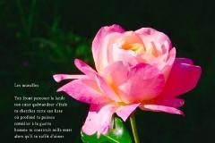 Rose du jardin de ma mère, Rivière-Enverse, Haute-Savoie. Poème àˆ la différence.